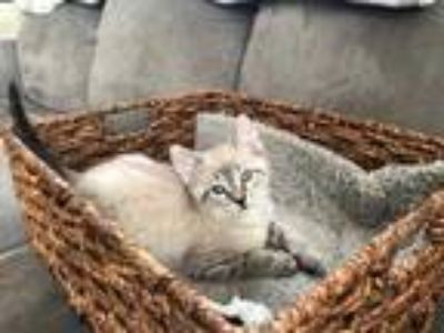 Adopt Cap a White Domestic Shorthair / Domestic Shorthair / Mixed cat in