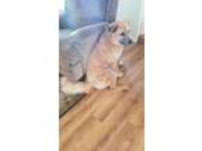 Adopt Frankie a Red/Golden/Orange/Chestnut Chow Chow / Shepherd (Unknown Type)