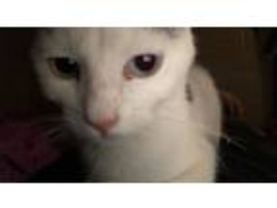 Adopt Ace a White (Mostly) Turkish Van / Mixed cat in Phoenix, AZ (23508006)