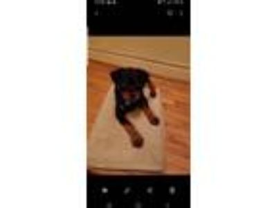 Adopt Rocky a Black - with Tan, Yellow or Fawn Rottweiler / Mixed dog in