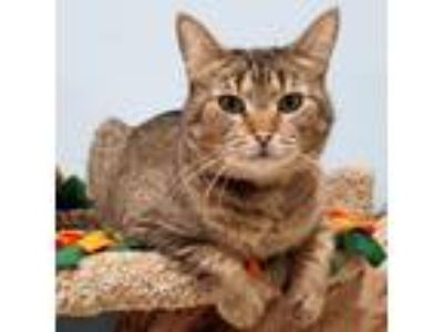 Adopt Bunny a Brown Tabby Domestic Shorthair / Mixed cat in Arlington