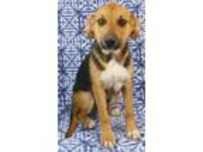 Adopt Halo a German Shepherd Dog, Coonhound