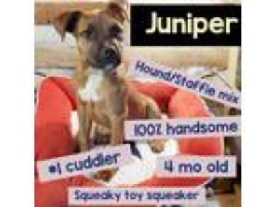 Adopt Juniper a Brown/Chocolate Black Mouth Cur / Staffordshire Bull Terrier /