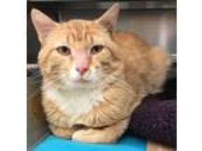 Adopt Jasper a Orange or Red Tabby Domestic Shorthair (short coat) cat in