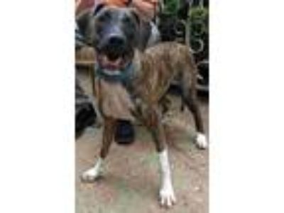 Adopt Jonah a Brindle - with White Hound (Unknown Type) / Mixed Breed (Medium) /