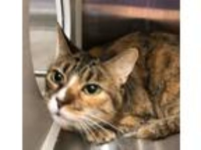 Adopt Polly a Tortoiseshell Domestic Shorthair / Mixed (short coat) cat in