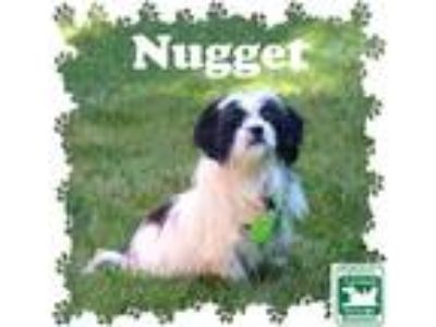 Adopt Nugget a Black - with White Shih Tzu / Mixed dog in Fallston