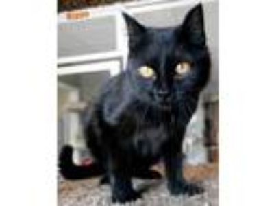 Adopt Rizzo a All Black Domestic Shorthair / Domestic Shorthair / Mixed cat in