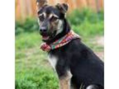 Adopt Zena a Black Shepherd (Unknown Type) / Mixed dog in Fort Collins