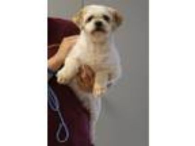 Adopt Spud a Shih Tzu / Mixed dog in Fall River, MA (25359563)