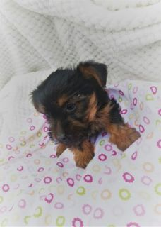 Yorkshire Terrier PUPPY FOR SALE ADN-76015 - Yorkie Puppies