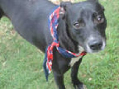 Adopt RUFFIE a Black - with White Labrador Retriever / Mixed dog in Texas City