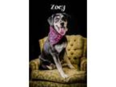 Adopt Zoey a Black Husky / Labrador Retriever / Mixed dog in North Myrtle Beach