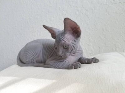 Canadian sphynx blue male, absolutely bald, wrinkles, champion blood line