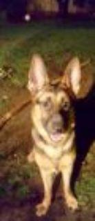 Zion German Shepherd Dog Dog