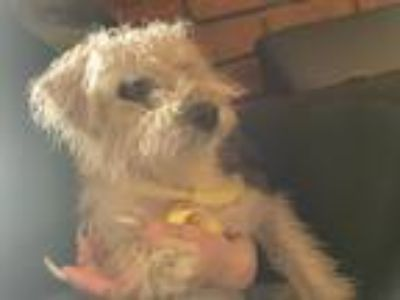 Adopt Annabel a White Poodle (Miniature) / Terrier (Unknown Type