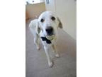 Adopt Gracie a White Great Pyrenees / Mixed dog in McKinney, TX (25927967)