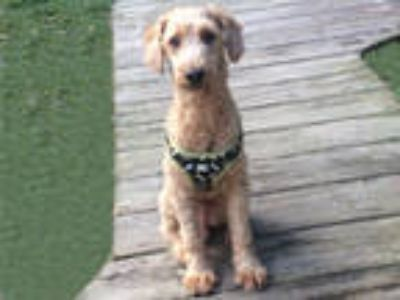 Adopt PERRY a Poodle