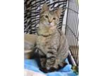 Adopt Peanut a Brown or Chocolate Domestic Shorthair / Domestic Shorthair /