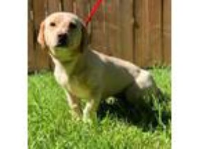 Adopt Georgia a Tan/Yellow/Fawn Labrador Retriever / Basset Hound / Mixed dog in
