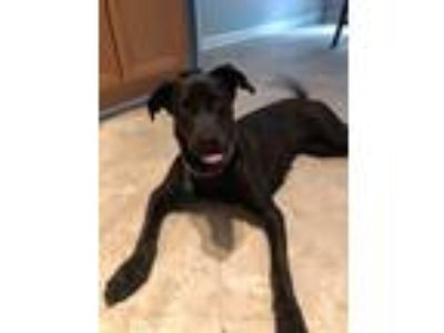 Adopt River a Labrador Retriever, Shepherd