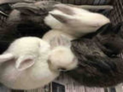 Adopt JANIS HOPLIN a White Other/Unknown / Mixed rabbit in Los Angeles