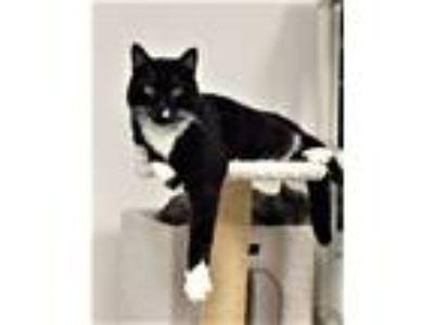 Adopt Bart (aka Bartleby) a Black & White or Tuxedo Domestic Shorthair / Mixed