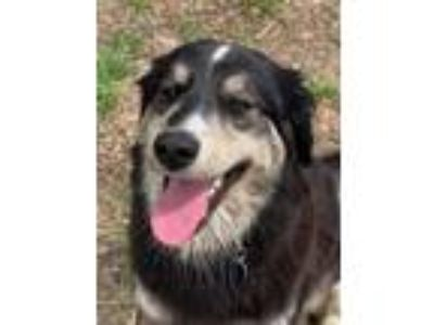 Adopt Kiwi a Border Collie