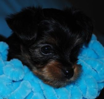 Yorkshire Terrier PUPPY FOR SALE ADN-103205 - Yokie Puppy Toya