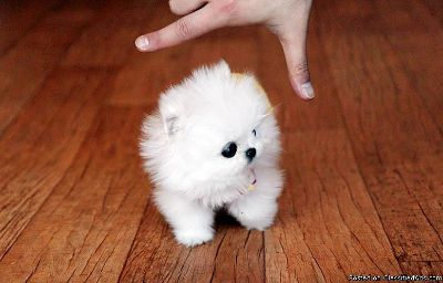 Pomeranian Puppies For Sale Classifieds In Houston Texas Clazorg
