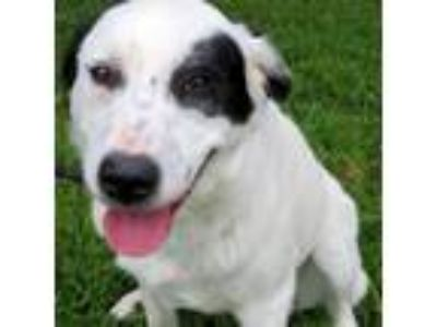 Adopt Charlotte a White - with Black Pointer / Mixed dog in Carrollton