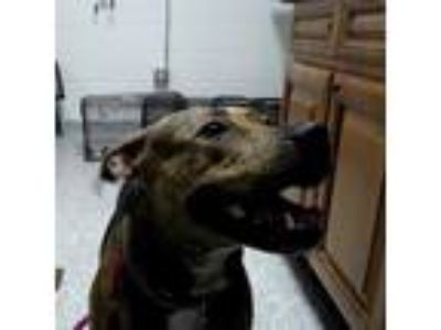 Adopt Celine a Brindle Pit Bull Terrier dog in Knoxville, TN (25922706)