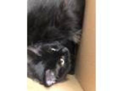 Adopt Dratini a All Black Domestic Longhair / Domestic Shorthair / Mixed (long