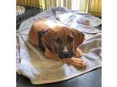Adopt Honey a Hound, Boxer