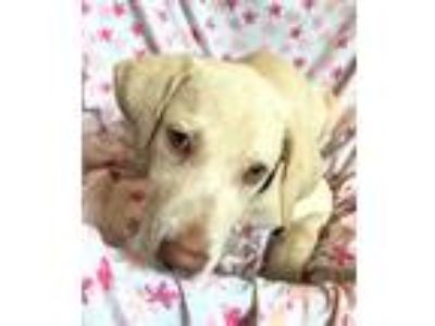 Adopt Buttercream a Yellow Labrador Retriever, Retriever