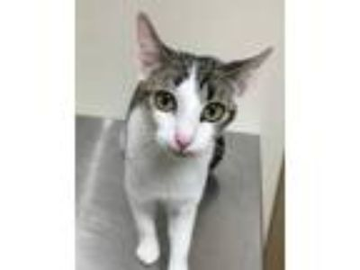 Adopt 41708843 a White Domestic Shorthair / Domestic Shorthair / Mixed cat in