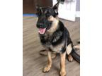 Adopt Wallace a Brown/Chocolate - with Black German Shepherd Dog / Mixed dog in