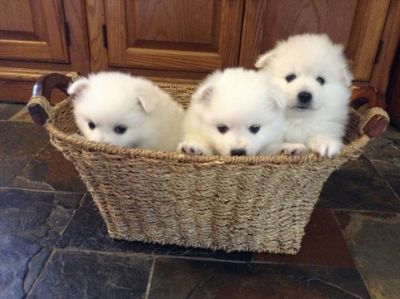 American Eskimo Dog PUPPY FOR SALE ADN-105534 - Miniture American Eskimo Puppies UKC