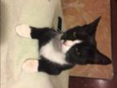 Adopt Tobias a Black & White or Tuxedo Domestic Shorthair (short coat) cat in