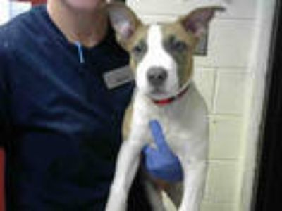 Adopt COWABUNGA a Tan/Yellow/Fawn - with White American Pit Bull Terrier / Mixed