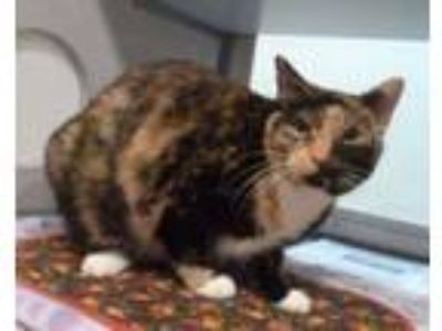 Adopt Peneloupe a Domestic Short Hair