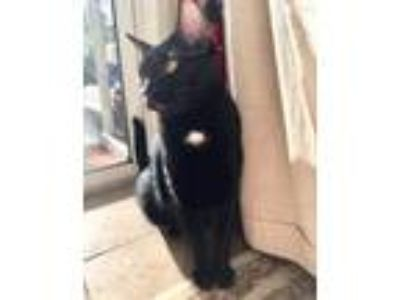Adopt Shadow a Black (Mostly) Domestic Shorthair (short coat) cat in New Port