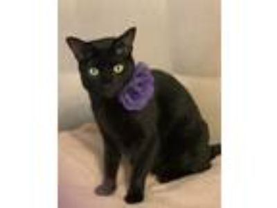 Adopt Kiki a All Black Domestic Shorthair cat in Dallas, TX (24248901)