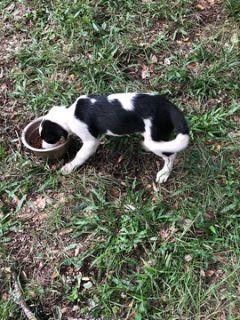 Border Collie PUPPY FOR SALE ADN-102105 - Border Collie Puppies