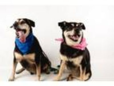 Adopt Venice*F* *A BONDED PAIR WITH JAY JAY* a Shepherd, Hound