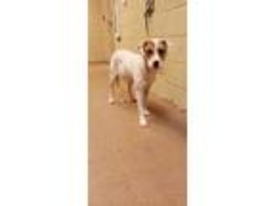 Adopt Isadora* a White Border Collie / Mixed dog in Anderson, SC (25657524)