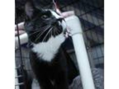 Adopt Jack a All Black Domestic Shorthair / Domestic Shorthair / Mixed cat in