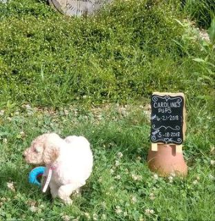 Poodle (Standard) PUPPY FOR SALE ADN-83047 - beautiful standard poodle puppies