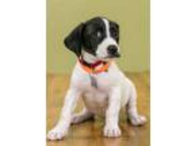 Adopt Graham Cracker a Pointer, Mixed Breed