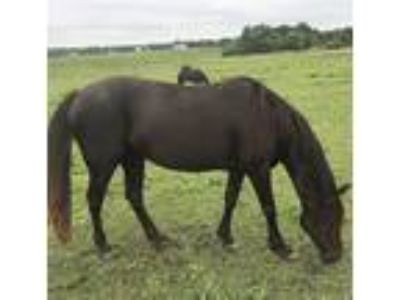 Rocky Mountain Mare for sale